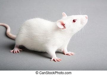 blanco, rata