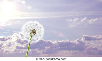 Dandelion, 3d animation on time-lapsed violet sky background