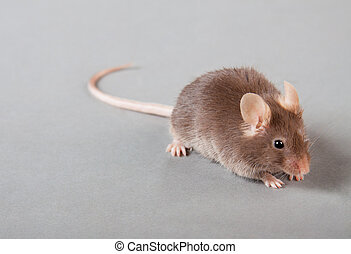 laboratory mouse - brown laboratory mouse isolated on grey...