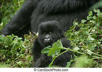 Peering gorilla baby - A close up on a gorilla baby in the...