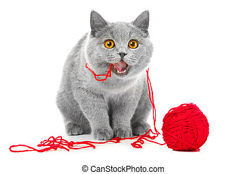 British blue cat chewing red ball of threads - Studio...