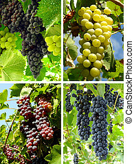 grapes collage - collage of ripening grape clusters from...