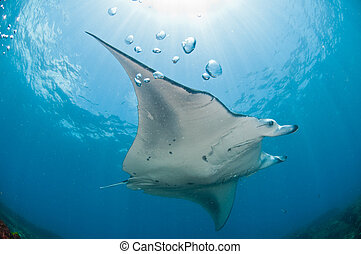 Underview of a mantaray - A mantray swimming along a reef,...