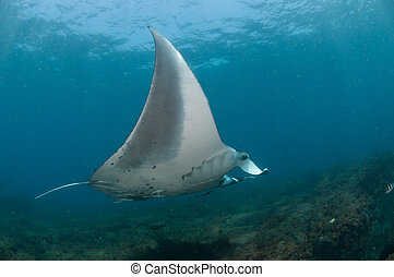 Flight of the Mantaray - A close up on a Mantaray swimming...