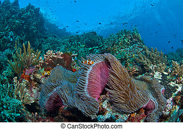 Coral bliss - Clownfish in a general reef scene, Raja Ampat,...