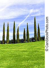 Alligned green cypress trees under blue sky