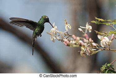 The Cuban Emerald (Chlorostilbon ricordii) - Cuban Emerald...