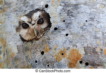 Cuban Screech-owl in Tree Hole. Cuban Screech-owl Gymnoglaux...