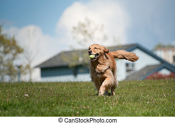 Golden Retriever runs with tennis ball - A golden retriever...