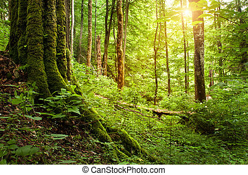sunlight in the forest - sunlight in the fores near the...