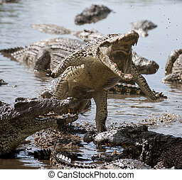 Attack crocodile Cuban Crocodile crocodylus rhombifer
