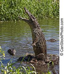 攻擊, 鱷魚