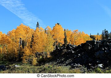 Aspen Trees in Autumn - A small grove of aspen trees in...