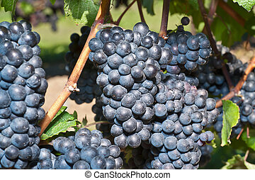 Red wine grapes - Grapes on the Vine ready for Harvest -...