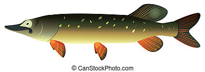 Pike - Pike fish on a white background, raster illustration...