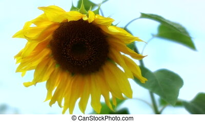 sunflower in breeze