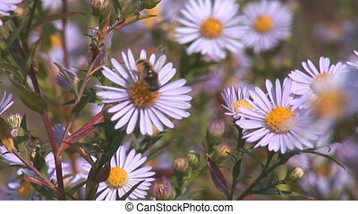 bees 1 - Bees pollinate the daisies