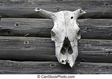 cow skull - aged cow skull on wall