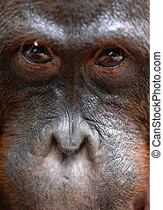 Orangutan Portrait. - Orangutan Ben. A portrait of the young...