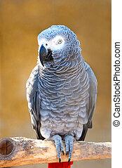 Grey parrot of Zhako Psittacus erithacus in zoo