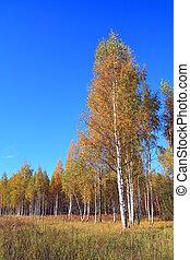yellow birch on autumn field