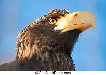 Stellers sea eagle - Haliaeetus pelagicus