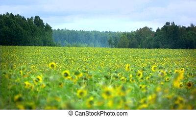 sunflower in breeze