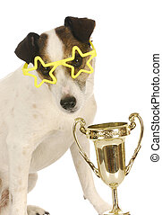champion dog - jack russell terrier wearing star shaped...