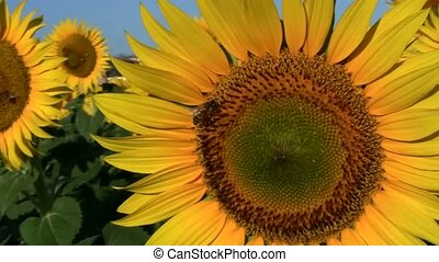 Flower Sunflower with bee - Full HD video clips