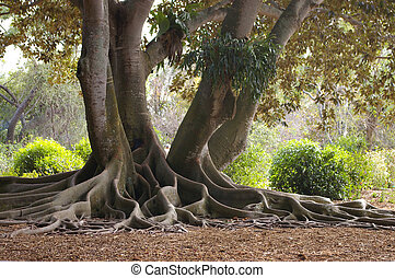 Tree Roots - Tree roots in a public park in Tampa Florida
