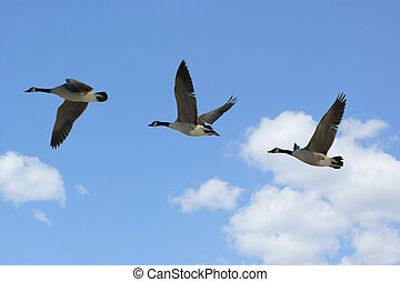 Geese Flying
