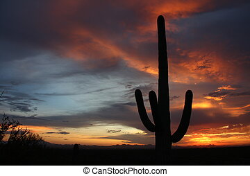 Desert Cactus sunset - Saguaro Cactus silhouettes in the...