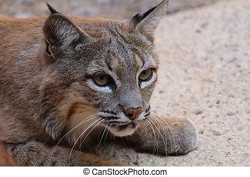 Wildcat  - Desert wildcat stocking