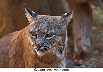 Bobcat - Arizona wildcat