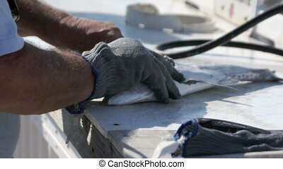 fisherman filleting fish - A fisherman wearing one glove is...