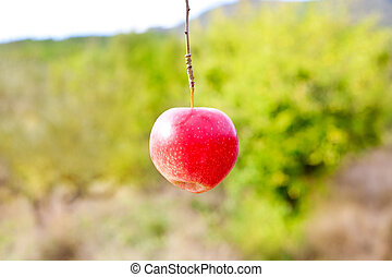 Apple red hanging from tree branch in farm field