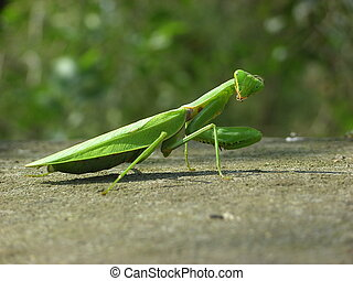 Mantis close-up