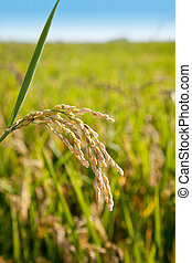 Cereal rice fields with ripe spikes