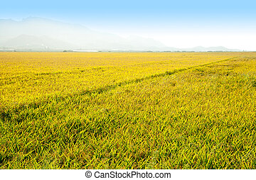 Cereal rice fields with ripe spikes in Valencia province...