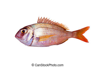 Common sea bream pagrus fish isolated on white