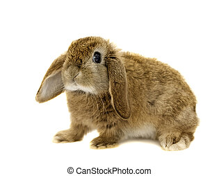 Lop Eared rabbit on a white background Not Isolated