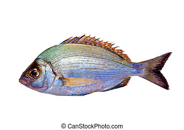 Diplodus sargus white sea bream isolated on white