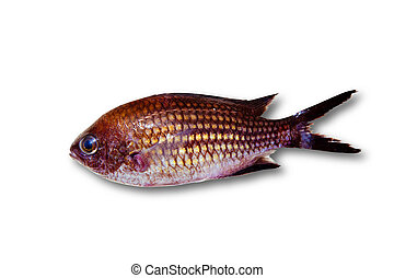 Chromis chromis Damselfish rock fish isolated on white