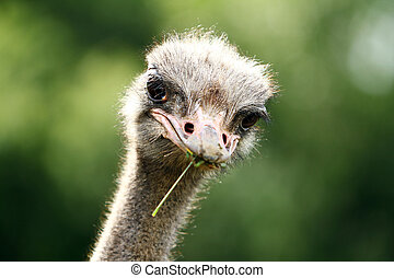 Beautiful ostrich at the farm