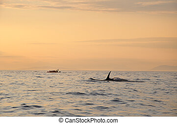 killer whale swimming at sunset