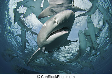 Shark encounter - A lemon shark swimming towards the camera,...