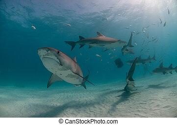 被鉤住, 鯊魚