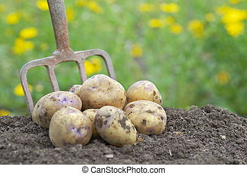 Pile of freshly harvested potatoes with garden folk - Pile...