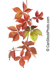 Boston ivy - multicoloured ivy(Parthenocissus...
