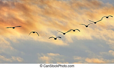 Flying Canada Geese Silhouettes Sunset - Silhouettes of...